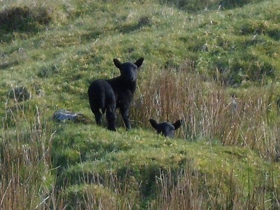 black sheep on Skye